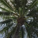 palm-tree-833728_640